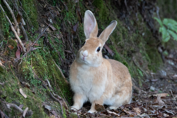 大久野島のウサギ