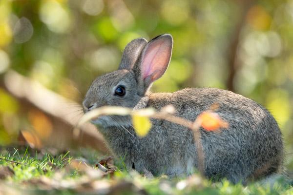 大久野島の子ウサギ